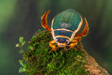 Great diving beetle (Dytiscus marginalis) male, Europe, August, controlled conditions