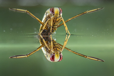 Backswimmer (Notonecta glauca), resting at the water surface, Europe, August, controlled conditions