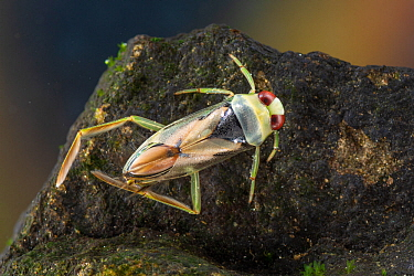 Backswimmer (Notonecta glauca), Europe, August, controlled conditions