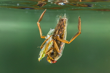 Backswimmer (Notonecta glauca) hunting at the water surface, Europe, August, controlled conditions
