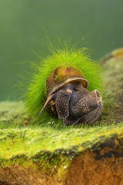 River snail (Viviparus sp.), Europe, April, controlled conditions