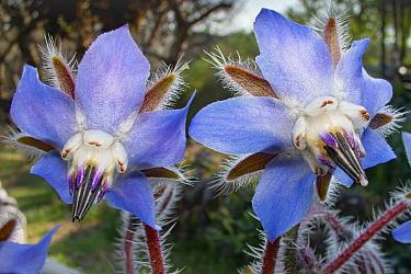 Borage (Borago officinalis) Podere Montecucco, Umbria, Italy
