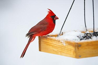 Northern Cardinal (Cardinalis cardinalis) at birdfeeder in snow Massachusetts, USA. April.