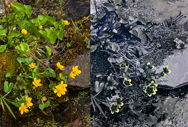 Marsh Marigold (Caltha palustris) comparison with normal, and UV reflected light. Surrey, England, U. March.