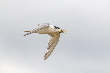 Crested tern (Thalasseus bergii) in flight, holding an Australian sardine (Sardinops sagax) in its mouth. Ricketts Point, Beaumaris, Victoria, Australia. May.