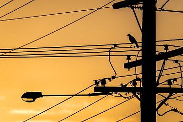 Sunset silhouetted Australian raven (Corvus coronoides) on powerlines. Brighton, Victoria, Australia. April.