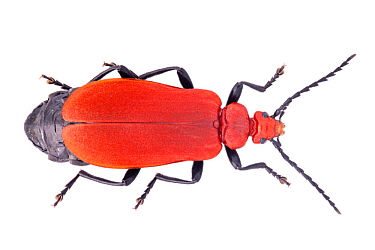 Red-headed Cardinal Beetle (Pyrochroa serraticornis) female. Females have serrate antennae whilst those of males are pectinate. Photographed on a white background. Peak District Natinal Park, Derbyshi...