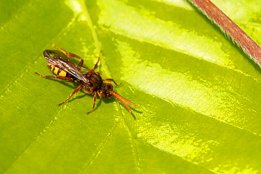Flavous nomad bee (Nomada flava) resting on a beech leaf, Broxwater, Cornwall, UK. May.