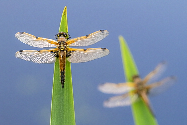 Four-spotted chaser (Libellula quadrimaculata) dragonflies resting on backlit reeds close to the water's edge, Broxwater, Cornwall, UK. May.