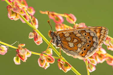 Marsh fritillary butterfly (Euphydrayas aurinia) on sorrel (Rumex acetosa), Dunsdon, Devon, UK. June