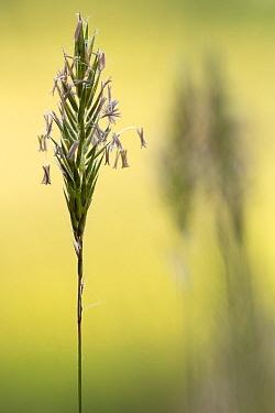 Sweet Vernal Grass (Anthoxanthum odoratum) with flower spikelets, Broxwater, Cornwall, UK. May.