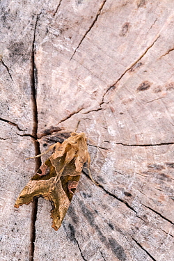 Angle Shades moth (Phlogophora meticulosa) camouflaged on tree stump, Broxwater, Cornwall, UK. May.