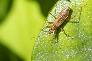 Common damsel bug (Nabis rugosus), fully winged form, sunning on a Honeysuckle leaf in a garden, Wiltshire, UK, March.