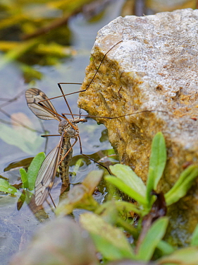 Cranefly (Tipula lateralis) female, of a distinctively patterned early spring semi-aquatic species, laying eggs in a garden pond, Wiltshire, UK, April.