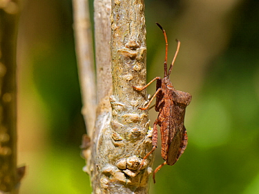 Dock bug (Coreus marginatus) on a Forsythia stem in a garden hedge, Wiltshire, UK, April.