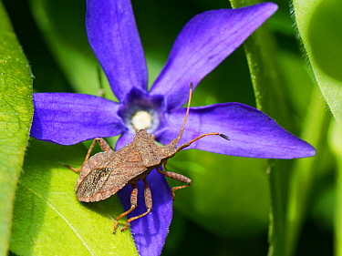 Dock bug (Coreus marginatus) standing on Greater perwikinkle flower (Vinca major) in a garden border, Wiltshire, UK, April.