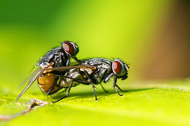 Face flies / Autumn house flies (Musca autumnalis) mating on a leaf in a garden, Wiltshire, UK, April.