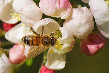 Honey bee (Apis mellifera) nectaring on a Crab apple (Malus sylvestnis) flower in a garden, Wiltshire, UK, April.