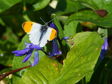 Orange tip butterfly (Anthocharis cardamines) resting on a Bluebell (Hyacinthoides non-scripta) flower in a garden, Wiltshire, UK, April.