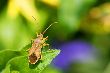 Box bug (Gonocerus acuteangulatus) on a Greater Periwinkle (Vinca major) leaf in a garden, Wiltshire, UK, April. This nationally endangered bug is spreading northwest from its former toehold in southe...