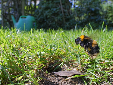 Buff-tailed bumblebee (Bombus terrestris) queen about to land at her nest burrow in a garden lawn with loaded pollen sacs to provision grubs that will become future workers for her colony, Wiltshire,...