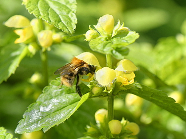 Common carder bumblebee (Bombus pascuorum) nectaring on a Yellow archangel (Lamiastrum galeobdolon) flower in a garden, Wiltshire, UK, April