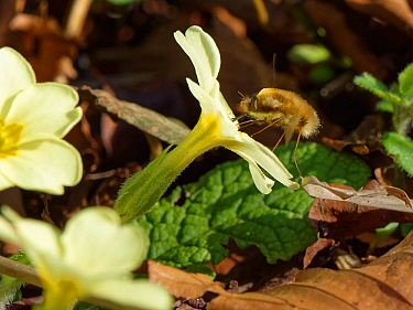 Common bee fly (Bombylius major) inserting its long proboscis into a Primrose flower (Primula vulgaris) to feed on nectar, Wiltshire garden, UK, March.