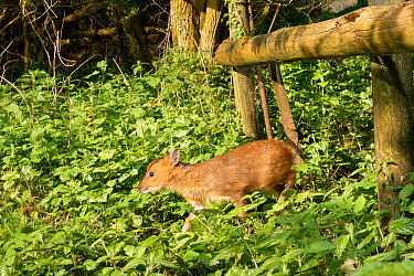 Reeve's muntjac deer / Barking deer (Muntiacus reevesi) fawn using a trail under a fence separating a garden from surrounding woodland at dawn, Wiltshire, UK, April.