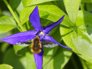 Common bee fly (Bombylius major) nectaring on a Greater periwinkle flower (Vinca major), Wiltshire garden, UK, April.