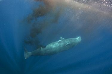 Sperm whale (Physeter macrocephalus) defecating near the surface, Sri Lanka. March.