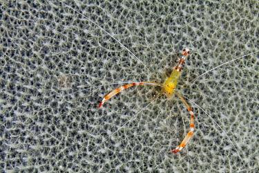 Golden coral shrimp (Stenopus scutellatus), Cienaga de Zapata National Park, Matanzas Province, Cuba.