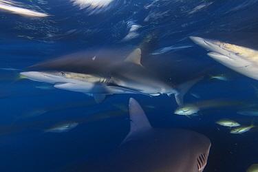 Silky Shark (Carcharhinus falciformis), and Yellowtail Snapper (Ocyurus chrysurus), Jardines de la Reina / Gardens of the Queen National Park, Caribbean Sea, Ciego de Avila, Cuba.