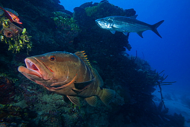 Nassau grouper (Epinephelus striatus) , Tarpon (Megalops atlanticus), and Longspine squirrelfish (Holocentrus rufus), Jardines de la Reina / Gardens of the Queen National Park, Caribbean Sea, Ciego de...