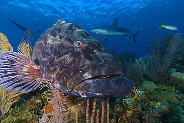 Black grouper (Mycteroperca bonaci), and Caribbean Reef Shark (Carcharhinus perezi),Jardines de la Reina / Gardens of the Queen National Park, Caribbean Sea, Ciego de Avila, Cuba.