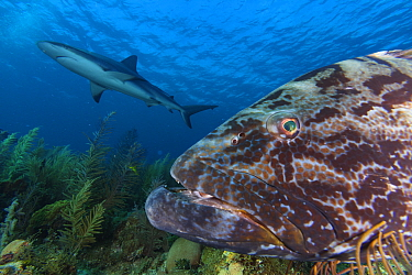 Black grouper (Mycteroperca bonaci), and Caribbean Reef Shark (Carcharhinus perezi), Jardines de la Reina / Gardens of the Queen National Park, Caribbean Sea, Ciego de Avila, Cuba.