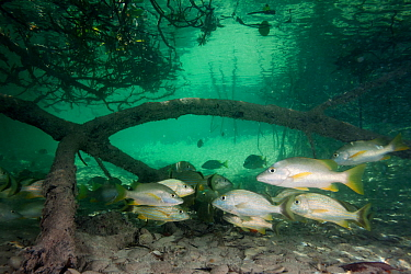 Schoolmaster snapper (Lutjanus apodus) and Bluestriped grunt (Haemulon sciurus) amongst Red mangrove (Rhizophora mangle), Jardines de la Reina / Gardens of the Queen National Park, Caribbean Sea, Cieg...