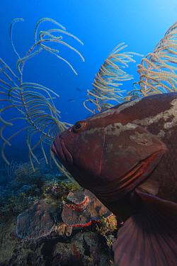 Nassau grouper (Epinephelus striatus) Jardines de la Reina / Gardens of the Queen National Park, Caribbean Sea, Ciego de Avila, Cuba.
