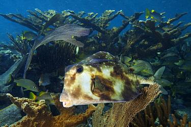 Buffalo trunkfish (Lactophrys trigonus) in front of Elkhorn coral (Acropora palmata),Jardines de la Reina / Gardens of the Queen National Park, Caribbean Sea, Ciego de Avila, Cuba.