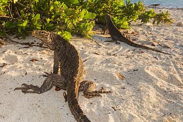 Cuban / Clouded rock iguanas (Cyclura nubila), on beach, Jardines de la Reina / Gardens of the Queen National Park, Caribbean Sea, Ciego de Avila, Cuba.