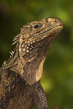 Cuban / Clouded rock iguana (Cyclura nubila), Jardines de la Reina / Gardens of the Queen National Park, Caribbean Sea, Ciego de Avila, Cuba.