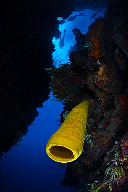 Yellow tube sponge (Aplysina fistularis) and diver, Guanahacabibes Peninsula National Park, Pinar del Rio Province, western Cuba., Floating debris cleaned