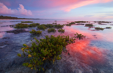 Red mangrove (Rhizophora mangle), tree seedllings at sunset, Guanahacabibes Peninsula National Park, Pinar del Rio Province, western Cuba.