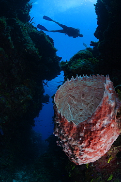 Giant barrel sponge (Xestospongia muta) and diver, Guanahacabibes Peninsula National Park, Pinar del Rio Province, western Cuba.