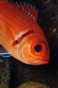 Blackbar soldierfish (Myripristis jacobus), Guanahacabibes Peninsula National Park, Pinar del Rio Province, western Cuba.
