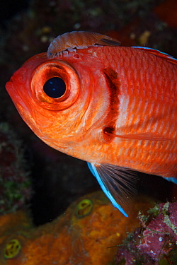 Blackbar soldierfish (Myripristis jacobus) with Cymothoid isopod attached, Guanahacabibes Peninsula National Park, Pinar del Rio Province, western Cuba.