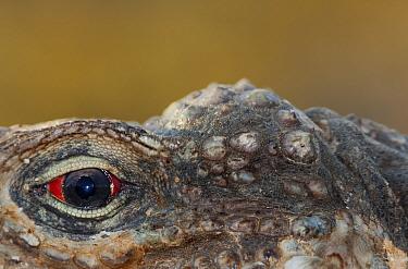 Cuban iguana (Cyclura nubila nubila) eye, Guanahacabibes Peninsula National Park, Pinar del Rio Province, western Cuba.