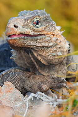 Cuban iguana (Cyclura nubila nubila) Guanahacabibes Peninsula National Park, Pinar del Rio Province, western Cuba.