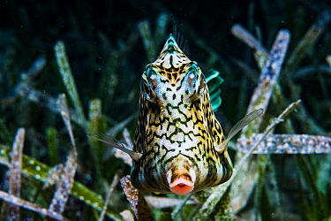 A Honeycomb cowfish (Acanthostracion polygonius) uses camouflage to blend into seagrass at night, Bahamas.