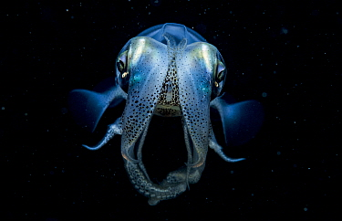 Caribbean reef squid (Sepioteuthis sepioidea) portrait at night, Eleuthera, Bahamas.