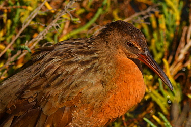 Ridgeway's rail (Rallus obsoletus levipes) roosting in pickleweed, Bolsa Chica Ecological Reserve, California, USA September/2014